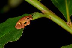BOR_0821 (lucvanderbiest) Tags: harlequinflyingtreefrogflyingfrog rhacophoruspardalis borneo maleisië sabah danumvalleywildlifereserve