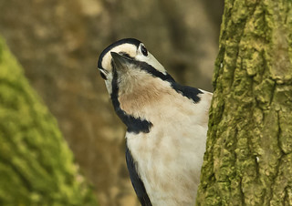 Woodpecker - Almost comical