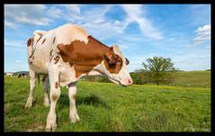 Campagne ardennaise (Comète78) Tags: vaches vache campagne campain ardenne ardennes argonne parc nature natural troupeau près prè champs champ lait milk ciel bleu vert photographie photography paysage paysages rouge blanc noir sky photo boeuf boeufs