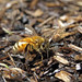 Honeybee getting moisture from wet ground