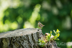 """"""" Wren in full voice, to find a mate! """" Taken at Barnwell Country Park - Troglodytes troglodytes (I'll catch up with you later, your comments and cr) Tags: barnwellcountrypark nikkor200500mmf56eafsed nikond610fx wildlifephotography rertug"""