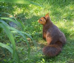 Ecureuil (eric_marchand_35) Tags: ecureuil squirel cessonsevigné bretagne