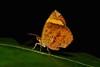 Butterfly Moth (Callidula attenuata, Callidulidae) (John Horstman (itchydogimages, SINOBUG)) Tags: insect macro china yunnan itchydogimages sinobug moth lepidoptera callidulidae black fbm topf25