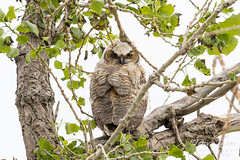 May 9, 2017 - A Great Horned Owlet in Thornton keeps watch. (Tony's Takes)