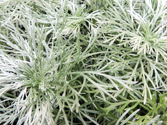 Silver Mound - Armoise de Schmidt naine (monteregina) Tags: québec canada ca nb201506069315 vivace perennial evergreentufted foliage hairysilveryleaves angelshair plante plant macro closeup shapes formes