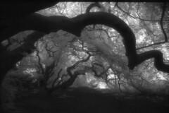 Tunnel (the future is analog) Tags: analog film bw infrared infrarot efke ir820 aph09 trees tree forest wald woods süntelbuche süntelbuchen dwarf beech fagus sylvatica suentelensis