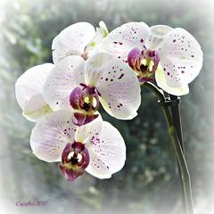 Happy Mothersday (Cajaflez) Tags: bloem fleur blume orchid orchidee