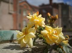 climbing rose (quietpurplehaze07) Tags: rose yellow climbingrose climbing mottisfont
