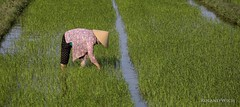 Hoi An (Rolandito.) Tags: south east asia southeast viet nam vietnam hoi an rice field woman worker working conical hat
