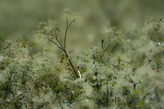 after the rains... (petegatehouse) Tags: cowparsley plant weed flower wet twinkle bokeh blureffect riverside