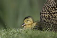 Happy Mother's Day (Chantal Jacques Photography) Tags: happymothersday ducklingandmom wildandfree depthoffield bokeh