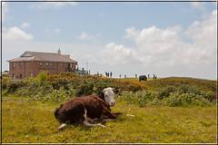 Pennard Golf Club, Southgate, Gower. (Crowbuster) Tags: cow bovine cattle golf pennard southgate gower swansea abertawe wales cymru rural countryside welsh walescymru livestock