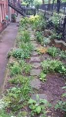 20170517_084155 (Carol B London) Tags: sgc flowers floral stepney stepneygreencourt stepneygreen e1 londone1 flowering bushes residentgarden gardens ids