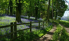 Hopwell Hall bluebell path (Blue sky and countryside) Tags: bluebells may springtime hopwellhall derbyshire sunshine flowers attractive walking path england pentax