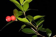 Alyxia ruscifolia (andreas lambrianides) Tags: alyxiaruscifolia apocynaceae alyxiaruscifoliarbrvarruscifolia alyxiaruscifoliarbrsubspruscifolia alyxiaruscifoliavarpugioniformis alyxiapugioiformis alyxiaruscifoliavarulicina nativeholly moonya chainfruit pricklyalyxia australianflora australiannativeplant australianrainforests australianrainforestplant cyrfp nswrfp qrfp arffs redarffs tropicalarf subtropicalarf littoralarf australianrainforestfruitsandseeds australianrainforestseeds australianrainforestfruits