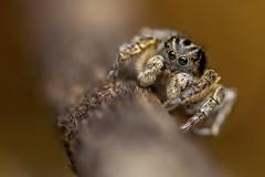 Aelurillus v-insignitus (Tom Rop) Tags: aelurillus vinsignitus jumping spider araignée sauteuse salticidae saltique arachnide araneomorphae araneae arachnida animal nature bokeh canon 600d sigma 105mm bague allonge