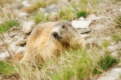 Marmotte (papy06200) Tags: marmotte alpes maritimes provencealpescotedazur régionpaca coldeschamps