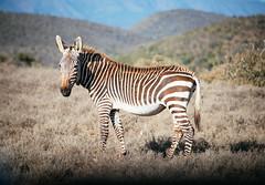 Mountain Zebra (Javier Pimentel) Tags: africa sudáfrica karoo southafrica addonationalpark gamedrive mountainzebra parquenacional kuzuko kuzukolodge addoelephantpark addo zebra surafrica somerseteast easterncape za