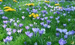 Krokus Wiese (BotanikGuide) Tags: krokuswiese krokus frühling frühlingswiese blumenwiesen botanikguide botanik pflanzen