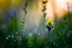 Morning (hploeckl) Tags: morning diaplan d750 dew nikon nature macro meadow moody bokeh botanical blossom