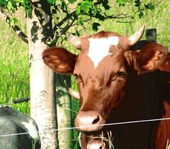 "Photo Series: Life on the Farm:  ""That gaze...."" (Ken Whytock) Tags: closeup cow cattle heifer ears horn eyes gaze staring farm"