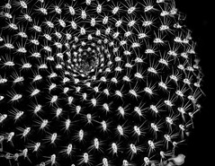 HYPNOSIS (Walimai.photo) Tags: black white blanco negro byn bw branco preto blanc noir cactus hipnosis hypnosis nikon d7000 helios 44m4 homemade casera