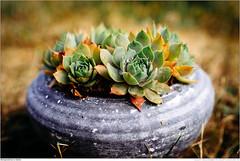 Steingewächse im Garten (marcus juettner) Tags: blume pflanze steingewächs stoneplant wassertropfen waterdrop