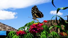 DSC05091_ED_MD (paulomarquesfotografia) Tags: borboleta bokeh zoom flores flowers butterfly hx400v sony natureza nature ceu sky