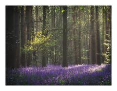 Spring (ben_wtrs79) Tags: bluebells woodland light trees warwickshire olympus omd em1