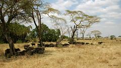 búfalos sesteando (vitofonte) Tags: búfalocafre synceruscaffer africanbuffalo serengetinationalpark tanzania africa sabana savannah pradera grassland naturaleza nature natura natureza vitofonte