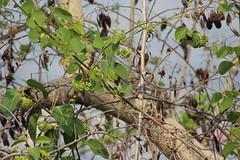 Olive-backed Sunbird IMG_025803 (foudetimbres) Tags: myanmar mandalay birds oiseaux olivebackedsunbird cinnyrisjugularis