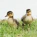 Ducklings (jo.angell) Tags: ducklings spring wildlife nature