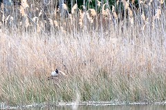 Mother Goose (pecooper98362) Tags: vestal newyork binghamtonuniversity stateuniversitynewyork suny naturepreserve wetlands marshtrail harpurpond spring evening highgrasses nest bird canadagoose brantacanadensis mothertobe mothergoose