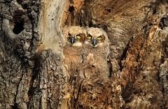 Double Vision (Ania.Photography) Tags: wildlife nature newjersey greathornedowl nesting tree babybird doublevision eyes nest birdofprey raptor bird chick