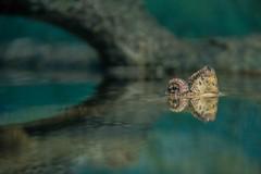 Mata-matá (mottazoo) Tags: 2017 landscape nature praia santos animals zoo aquarium biology turtle