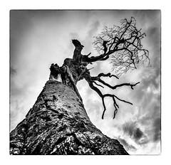 Drag Me To Hell (RonnieLMills) Tags: rihanna lone tree bangor county down broken fallen dead gnarled twisted branches mono bw blackandwhite noiretblanc blancoynegro