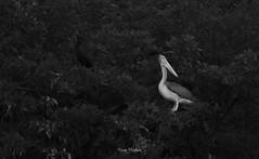 Spot Billed Pelican (Anas Hashim) Tags: wildlife photography bird birds pelican largebirds ngc