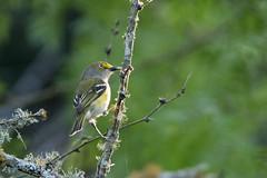 White-eyed vireo (jim_mcculloch) Tags: dsc0425 birds