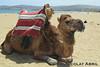 Camel at the beach, Tangier (Nicolay Abril) Tags: tánger tangier tangeri tétouan tetuán province marruecos marocco morocco maroc marokko طنجة تطوان المغرب العربي أفريقيا