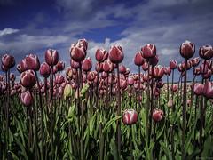 P4230156 (Finalfoto.nl) Tags: tulpen bollen tulps kleuren tulp tulips rood geel groen bloemen bloem