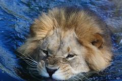 Swimming Lion Batou (caren (Thanks for 1.5 Mio+ views)) Tags: afrikanischerlöwebatou africanlionbatou leo pantheraleomassaica bigcat raubkatze tierparkhellabrunnzoomunich löwe lion