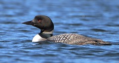 Common Loon (RWGrennan) Tags: loon bird baxter state park maine water nature wild wildlife nikon d610 rwgrennan rgrennan ryan grennan kidney pond lake tamron canoe 150600 common great northern diver gavia immer