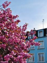 Boulogne-sur-Mer - Place Navarin (JeanLemieux91) Tags: cerisier japonais prunus serrulata pink rose rosa fleurs flowers flores tree árbol arbre boulognesurmer pasdecalais nordpasdecalais france avril april abril spring printemps primavera