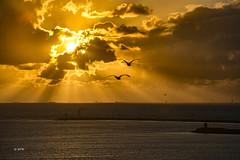 Flight in the sunset (hph46) Tags: niederlande holland ijmuiden nordsee sonnenuntergang vögel sony alpha7r