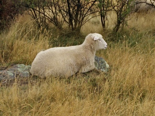 Sheep on Roys Peak Track