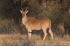 Early Morning Eland (Hector16) Tags: africa nomad safari outdoors tanzania ndutu drought wildlife serengeti arusharegion tz