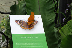 Julia Butterfly on Common Buckeye sign Butterflies and Blossoms special exhibit Conservatory of Flowers Victorian Greenhouse in San Francisco's Golden Gate Park 170407-121043 C4 (Wambeke & Wambeke Photography, Art, & Textiles) Tags: butterfliesandblooms butterfliesandbloomsspecialexhibit cof cofspecialexhibitsroom conservatoryofflowers victoriangreenhouse sanfrancisco sanfranciscopointofinterest butterfly butterflyonsign juliabutterfly juliabutterflyoncommonbuckeyeinformationsign charliewambekephotography charliesphotoart charliewambekephoto charliewambekephotograph canonpowershotsx50photograph canonsx50photograph canonsx50photo wambekewambekephotographyarttextiles wambekewambeke wambekeandwambekephoto wambekeandwambekephotography wambekewambekephotographyquiltingspecialists