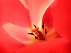 Tulip (STEHOUWER AND RECIO) Tags: tulip tulp flower macro inside red rood flora tulipa dutch