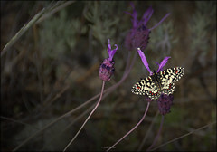 Mariposa arlequín (Zerynthia rumina) (Jesús Gabán) Tags: mariposaarlequin zerynthiarumina jesusgaban alpedrete cantueso lavandulastoechas