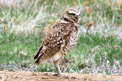 Preying on the Prairie (Patricia Henschen) Tags: burrowing owl burrowingowl plains prairiedogtown elpasocounty hanover road colorado rural roadside countryside bird